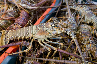 Mexican Vigía Chico Cooperative Spiny Lobster Territorial Use Rights for Fishing Program